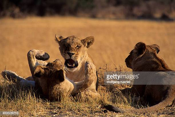 Botswana Okavango Delta Mombo Island Lion Cub Playing/showing Affection With Mother