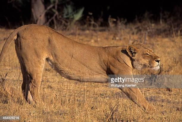 Botswana Okavango Delta Mombo Island Lioness Stretching