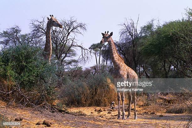 Botswana Okavango Delta Mombo Island Southern Giraffes