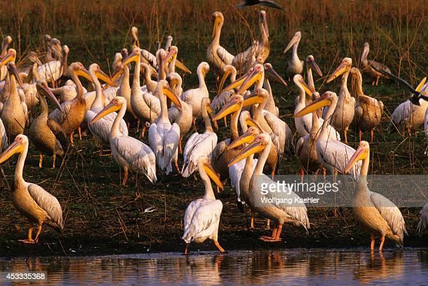 Botswana Okavango Delta Mombo Island White Pinkbacked Pelicans