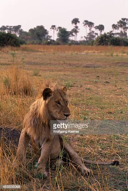 Botswana Okavango Delta Mombo Island Young Male Lion