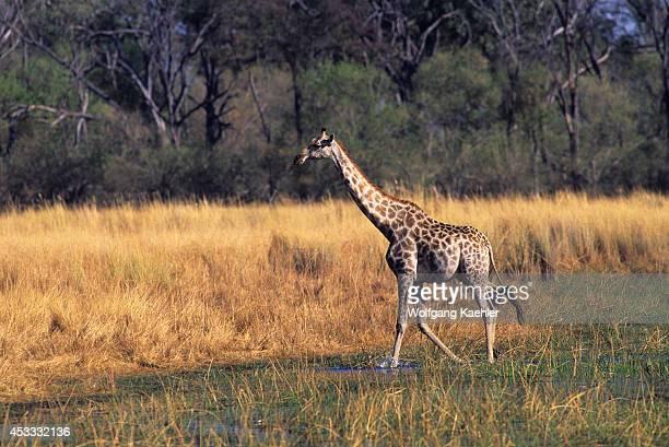 Botswana Okavango Delta Moremi Reserve Masai Giraffe