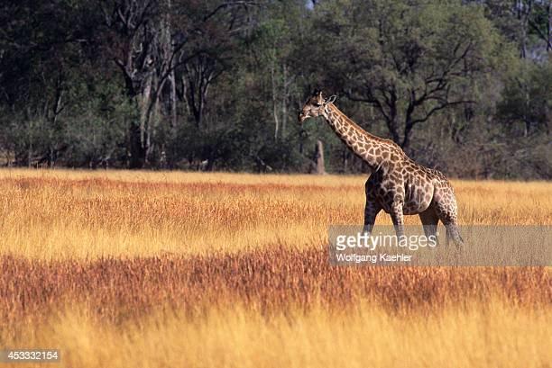 Botswana Okavango Delta Moremi Reserve Masai Giraffe Walking
