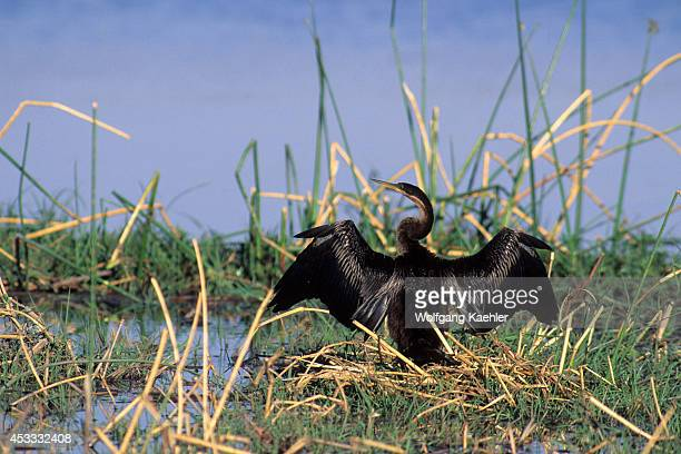 Botswana Okavango Delta Moremi Wildlife Reserve African Darter Drying Wings
