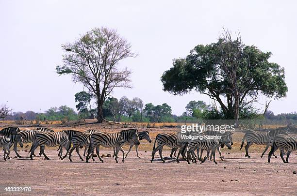 Botswana Okavango Delta Moremi Wildlife Reserve Burchell's Zebras