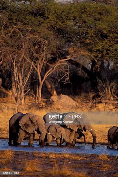 Botswana Okavango Delta Moremi Wildlife Reserve Elephant Herd Drinking