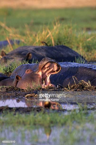 Botswana Okavango Delta Moremi Wildlife Reserve Hippopotamus Yawning