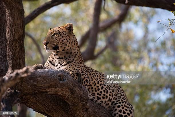 Botswana Okavango Inland Delta Duma Tau Leopard In Tree