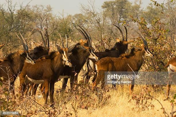 Botswana Okavango Inland Delta Vumbura Sable Antelope Herd In Mopane Bush
