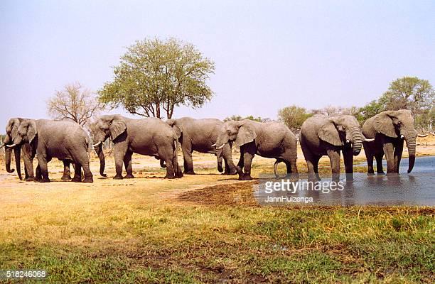 Botswana Safari: Herd of Elephants at Waterhole