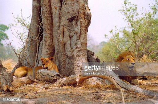 Botswana Safari: Lion Couple Lying Near Huge Tree Trunk