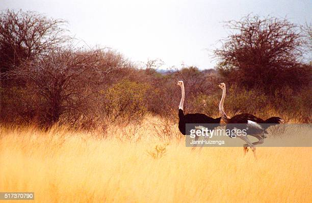 Botswana Safari: Ostriches in Yellow Grass