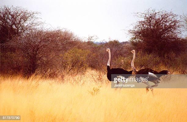 Botsuana Safari : Avestruces en amarillo hierba