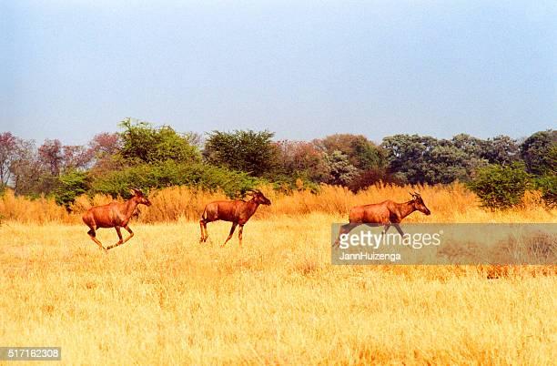 Botswana Safari: Three Red Hartebeest Running