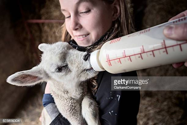 Bottle Feeding a Lamb Abandoned by its Mother