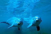 Bottle nosed Dolphin (Tursiops truncatus) underwater, Honduras
