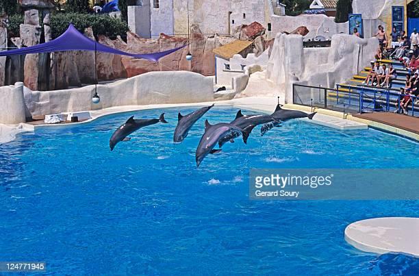 Bottlenose Dolphin (Tursiops truncatus) at show, Asterix Park, France