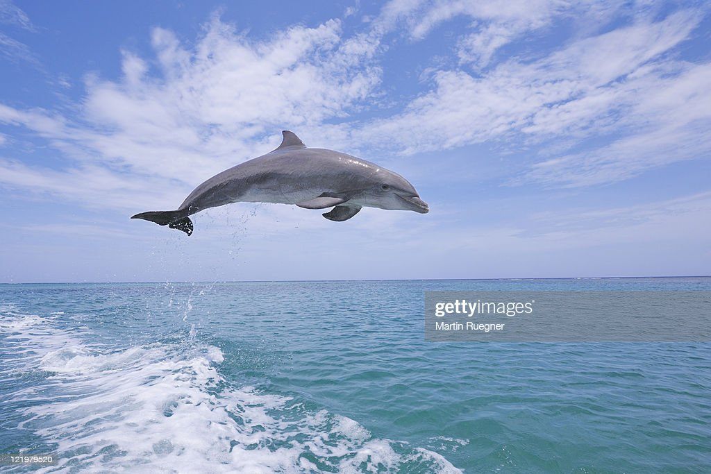 Bottlenose dolphin jumping. : Stock Photo