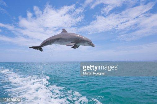Bottlenose dolphin jumping. : Stock-Foto