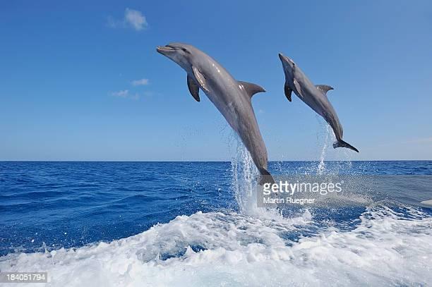 Bottlenose dolphin, jumping