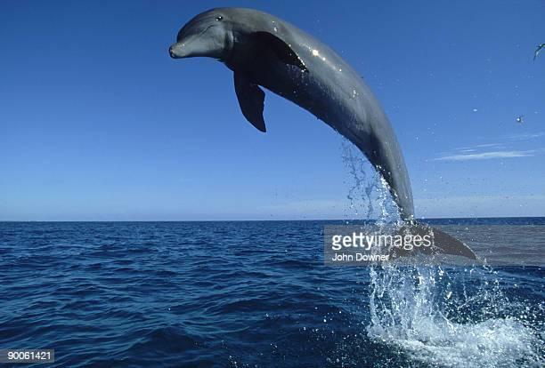 bottlenose dolphin: tursiops truncatus,  bahamas