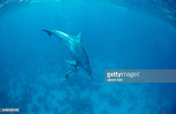 bottlenose dolphin Tursiops truncatus Egypt Red Sea Safaga