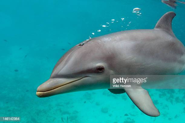 Bottlenose dolphin underwater blowing bubbles Curacao Netherlands Antilles