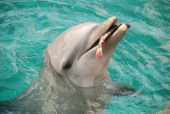Bottlenose dolphin with a live freshly caught parrotfish in her mouth Curacao Netherlands Antilles