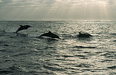 Bottlenose Dolphins at dawn. Port St Jones, Wild Coast, Eastern Cape Province, South Africa