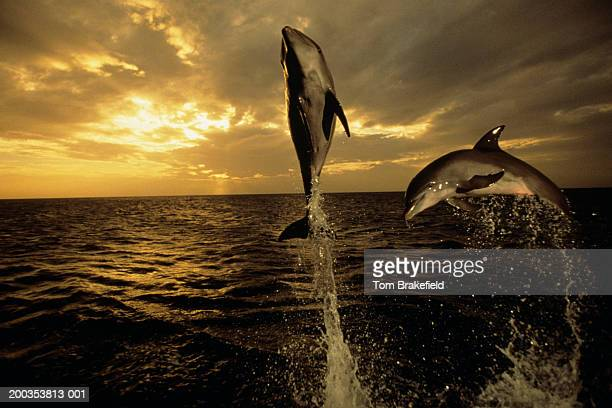 Bottlenose dolphins (Tursiops truncatus) jumping at sunset