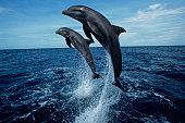 Bottlenose dolphins (Tursiops truncatus) jumping