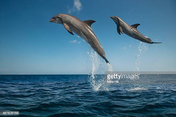 Bottlenose Dolphins jumping