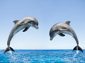 Bottlenose Dolphins jumping