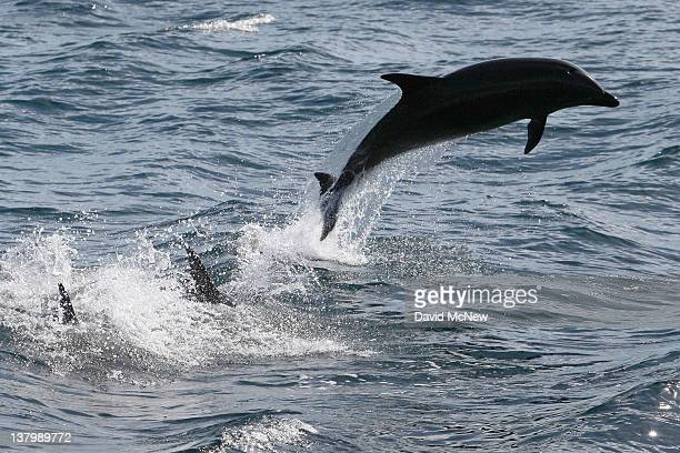 Bottlenose dolphins leap off the Southern California coast on January 30 2012 near Dana Point California A coalition that includes Native American...