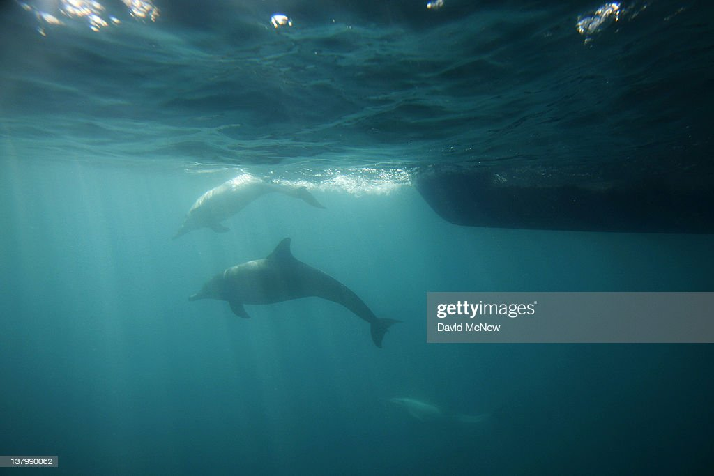 Bottlenose dolphins swim ahead of the bow of a boat off the southern California coast on January 30 2012 near Dana Point California A coalition that...