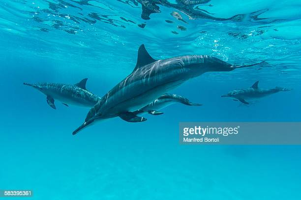 Bottlenose dolphins swimming close to the surface