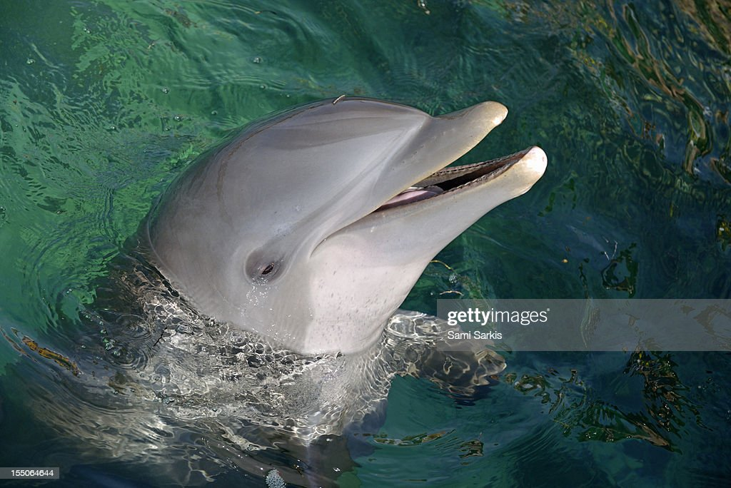 Bottle-nosed dolphin in the ocean : Stock Photo