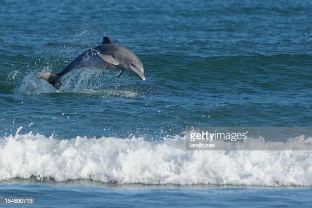 Roaz (Tursiops truncatus) passar sobre os no surf