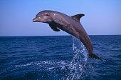 Bottlenosed Dolphin Leaping