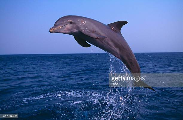 Bottlenosed Dolphin Leaping