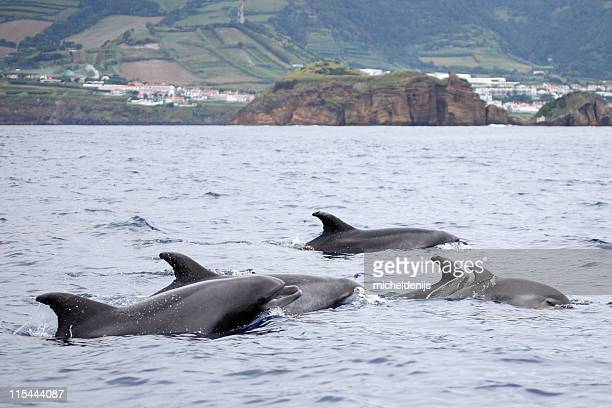 Bottle-nosed Dolphins At Azores Sea