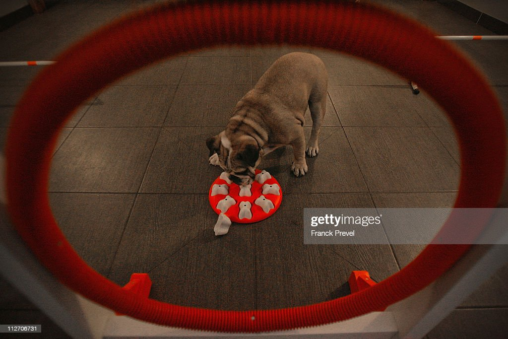 'Bouboule', an English bulldog plays with an olfactory toy in the game room at Actuel Dogs on April 19, 2011 in Vincennes, France. Opened in November 2010 by Devi and Stan Burun, Actuel Dogs is a five-star luxury hotel for dogs with four single rooms and two suites. With the aim of meeting the dogs' needs, the hotel offers activities including doggy walks, doggy rando'(hiking), doggy jogs, doggy velo'(running next to a bike) and other services such as dog massage. The hotel also caters to the needs of people living in small appartments or who don't have the time to walk their dogs.
