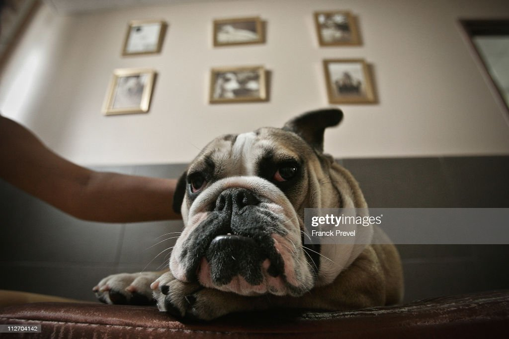 'Bouboule', an English bulldog rests in a hotel room at Actuel Dogs on April 19, 2011 in Vincennes, France. Opened in November 2010 by Devi and Stan Burun, Actuel Dogs is a five-star luxury hotel for dogs with four single rooms and two suites. With the aim of meeting the dogs' needs, the hotel offers activities including doggy walks, doggy rando'(hiking), doggy jogs, doggy velo'(running next to a bike) and other services such as dog massage. The hotel also caters to the needs of people living in small appartments or who don't have the time to walk their dogs.