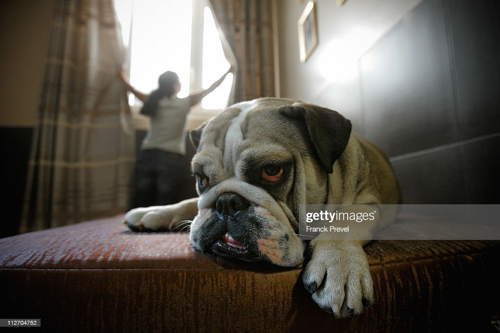'Bouboule', an English bulldog rests in its hotel room at Actuel Dogs on April 19, 2011 in Vincennes, France. Opened in November 2010 by Devi and Stan Burun, Actuel Dogs is a five-star luxury hotel for dogs with four single rooms and two suites. With the aim of meeting the dogs' needs, the hotel offers activities including doggy walks, doggy rando'(hiking), doggy jogs, doggy velo'(running next to a bike) and other services such as dog massage. The hotel also caters to the needs of people living in small appartments or who don't have the time to walk their dogs.