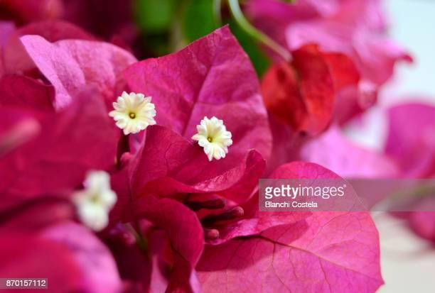Bougainvillea flower in bloom
