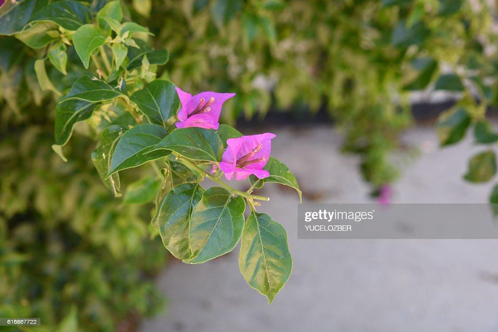 Bougainvillea Flower. : Stock Photo