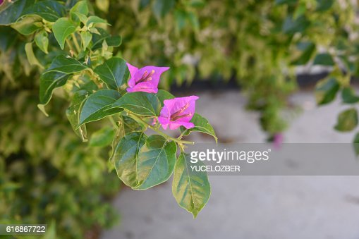 Bougainvillea Flower. : Stock Photo