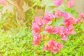 bougainvillea flower red with green leaves beautiful in the garden. with copy space add text