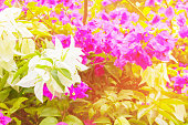 bougainvillea flower white with green leaves beautiful in the garden. with copy space add text