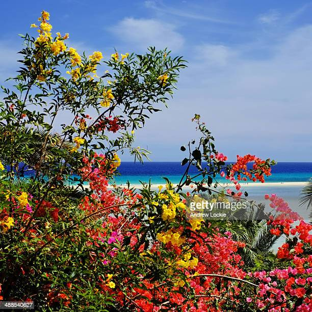 Bougainvillea flowering on Fuerteventura